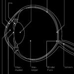 Wahrnehmung Sehsinn - Querschnitt Auge